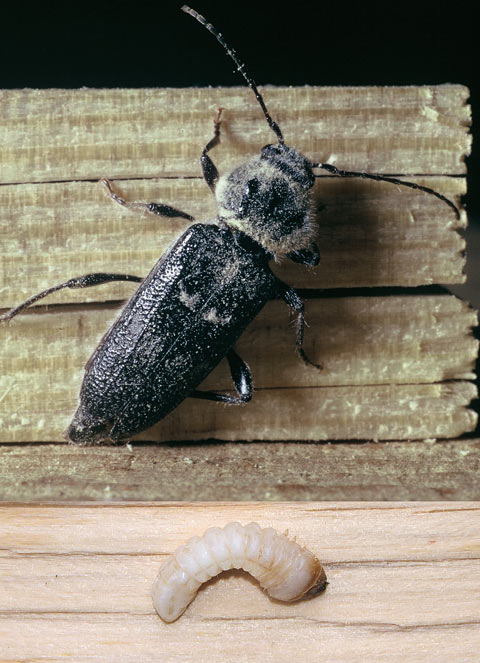 Жук дровосек домовой и его личинка