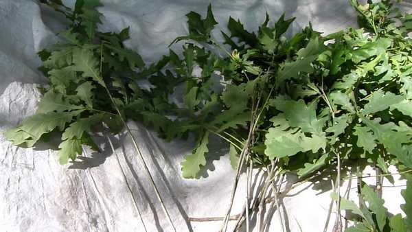 Нарезанные дубовые ветки должны полежать малость в тени