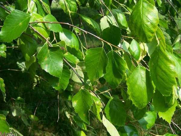 Для березовых веников выбирайте молодые деревья, растущие на солнце на пригорке или возле водоема