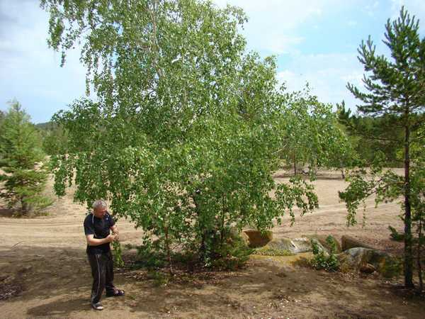 Отдельно растущие молодые деревья - отличный выбор