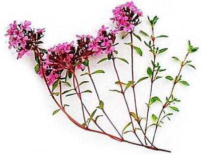 Чабрец - отличное противовоспалительное и отхаркивающее средство, также имеет очень приятный запах